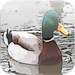Waterfowl Hunting - Duck Calls For Your Phone or Tablet